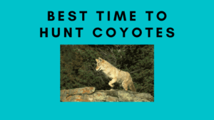 A List of Best Time To Hunt Coyotes